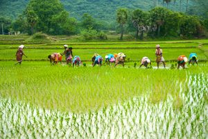 Market Perception And Potential Challenges On Plant Population For Rice
