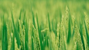 Farmers' perception and challenges on plant population for rice seeds;